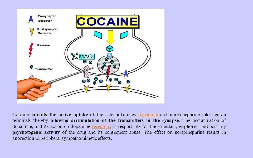Cocaine inhibits the active uptake of the catecholamines dopamine and norepinephrine into neuron terminals thereby allowing accumulation of the transmitters in the synapse.