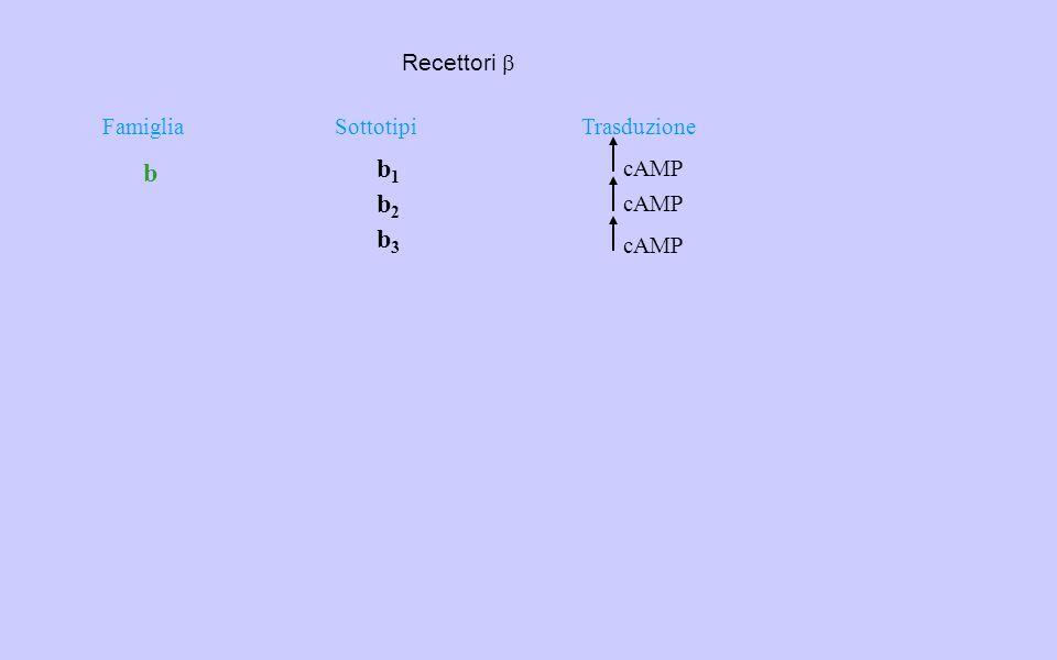 Recettori b b b1 b2 b3 Famiglia Sottotipi Trasduzione cAMP