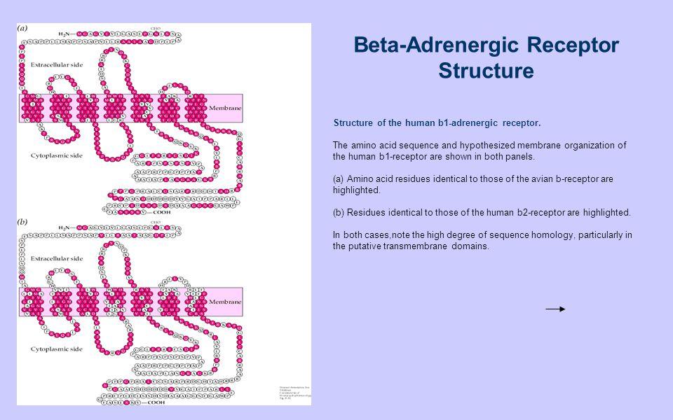 Beta-Adrenergic Receptor Structure