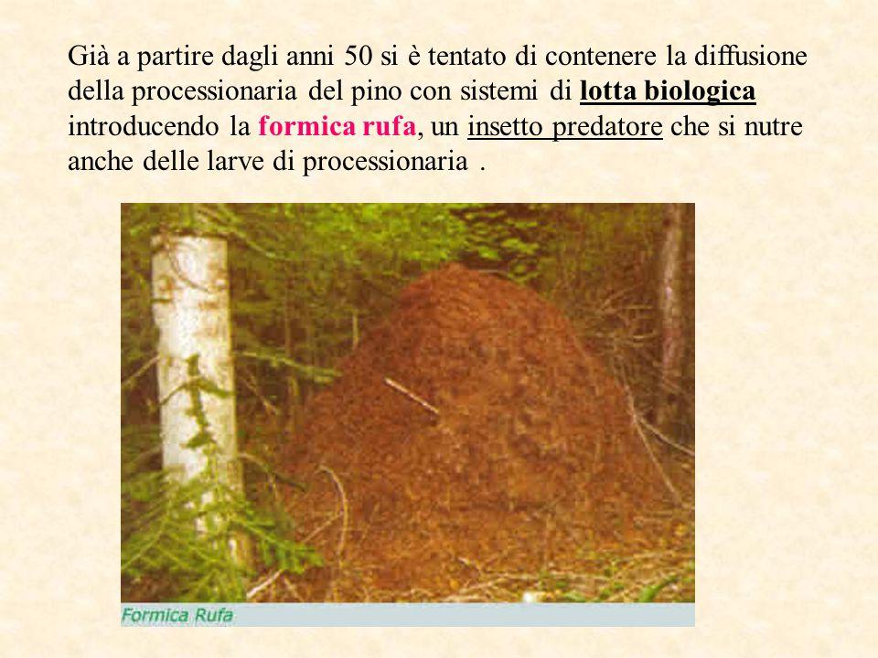 Già a partire dagli anni 50 si è tentato di contenere la diffusione della processionaria del pino con sistemi di lotta biologica introducendo la formica rufa, un insetto predatore che si nutre anche delle larve di processionaria .