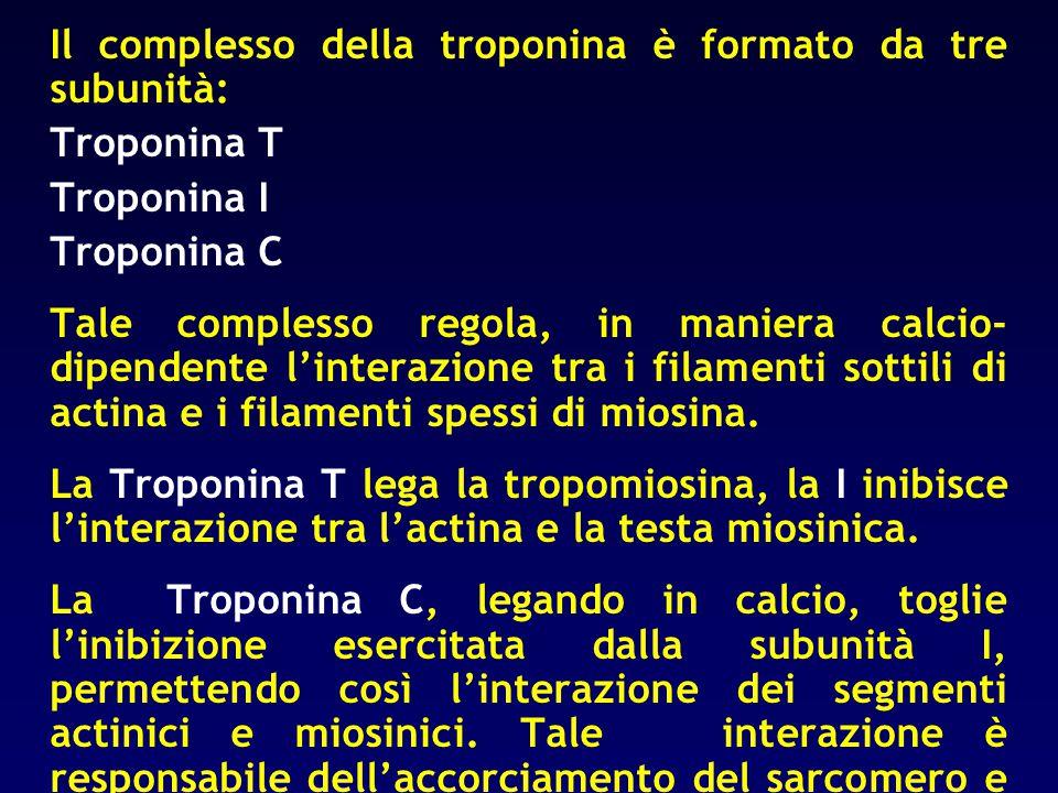 Il complesso della troponina è formato da tre subunità: