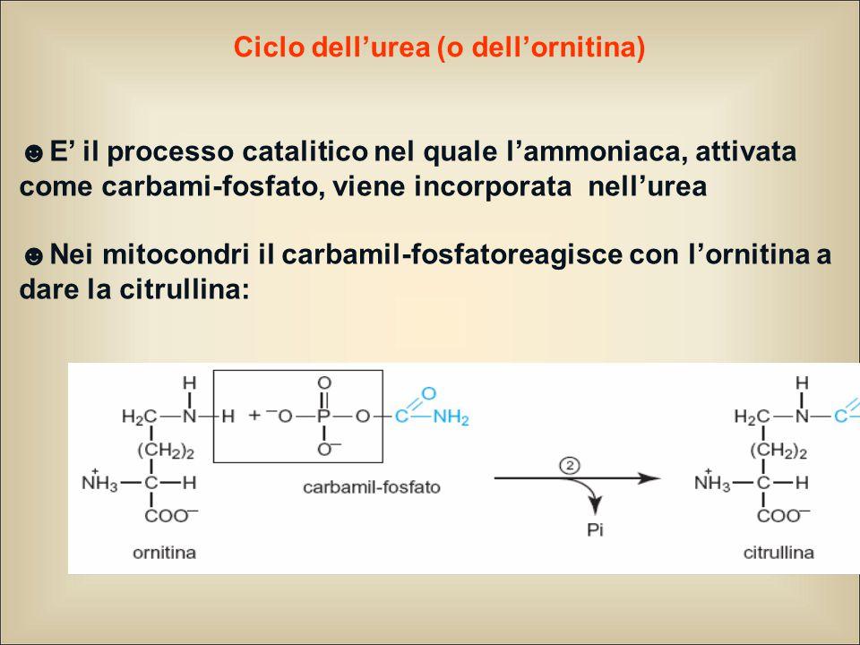 Ciclo dell'urea (o dell'ornitina)