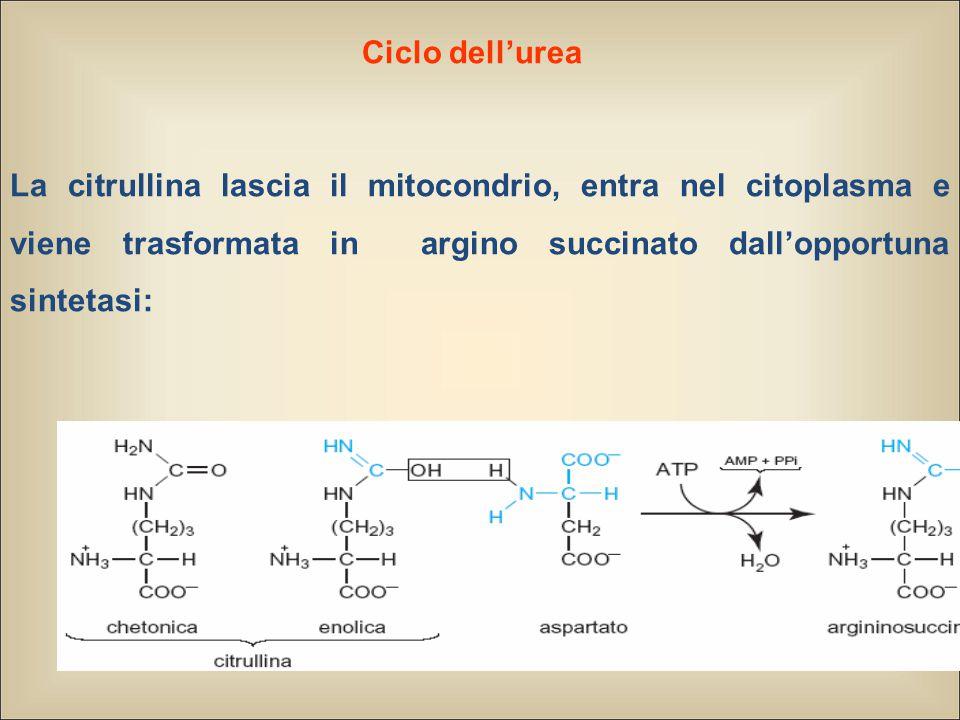 Ciclo dell'urea La citrullina lascia il mitocondrio, entra nel citoplasma e viene trasformata in argino succinato dall'opportuna sintetasi: