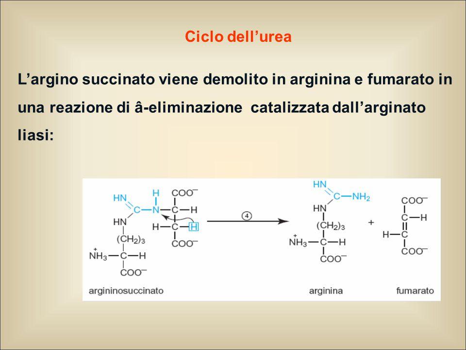 Ciclo dell'urea L'argino succinato viene demolito in arginina e fumarato in una reazione di â-eliminazione catalizzata dall'arginato liasi: