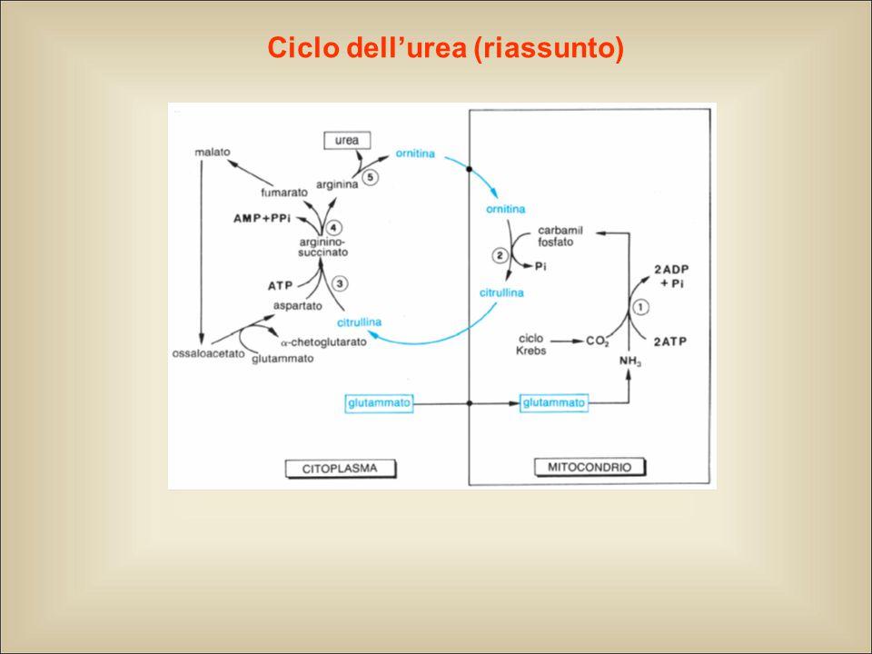Ciclo dell'urea (riassunto)