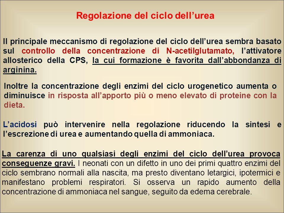 Regolazione del ciclo dell'urea