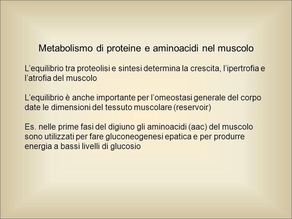 Metabolismo di proteine e aminoacidi nel muscolo