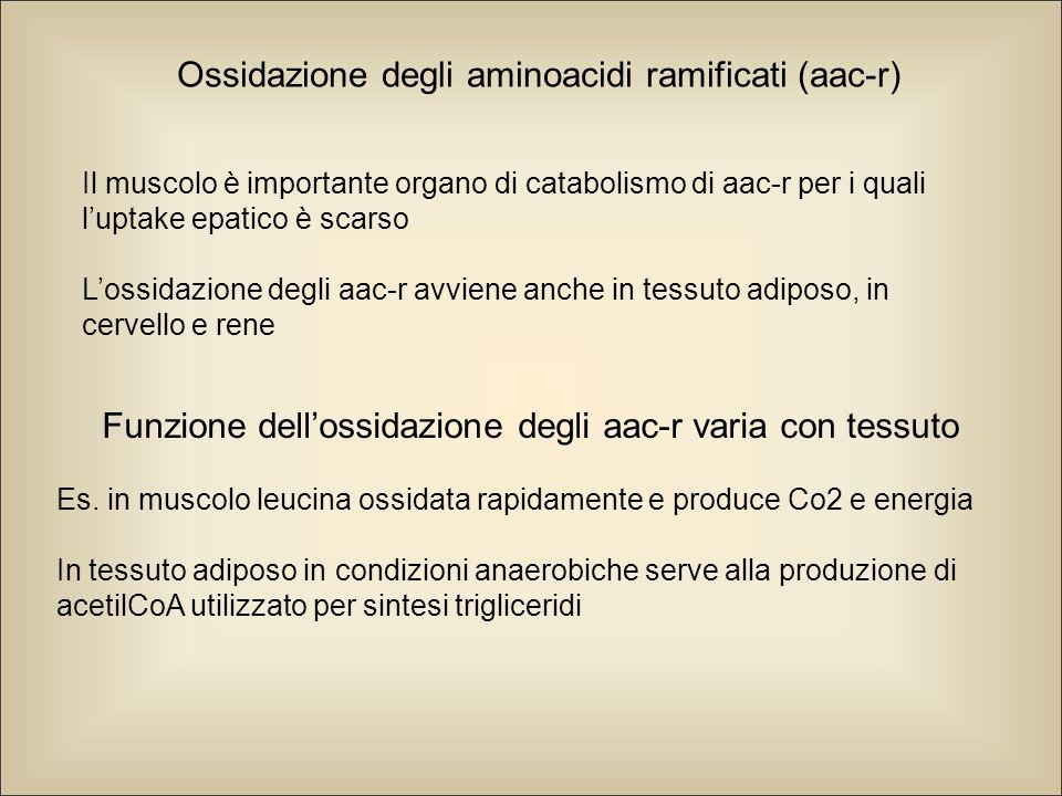 Ossidazione degli aminoacidi ramificati (aac-r)