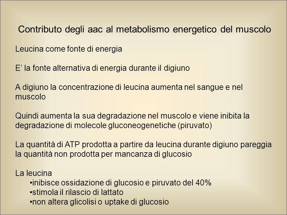 Contributo degli aac al metabolismo energetico del muscolo