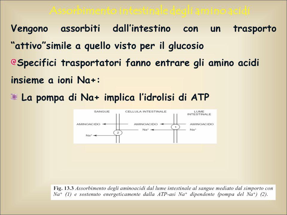 Assorbimento intestinale degli amino acidi