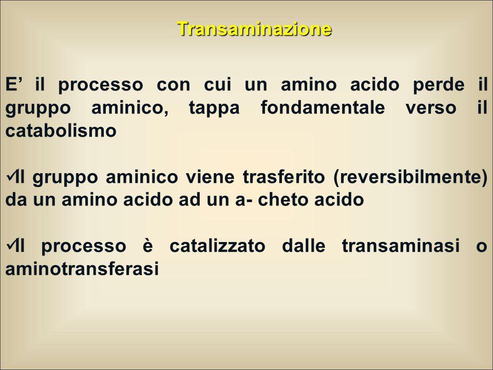 Transaminazione E' il processo con cui un amino acido perde il gruppo aminico, tappa fondamentale verso il catabolismo.