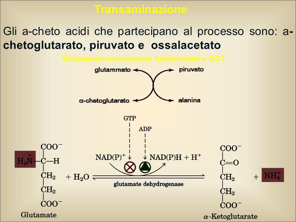 Glutammato-ossalacetato transaminasi o GOT