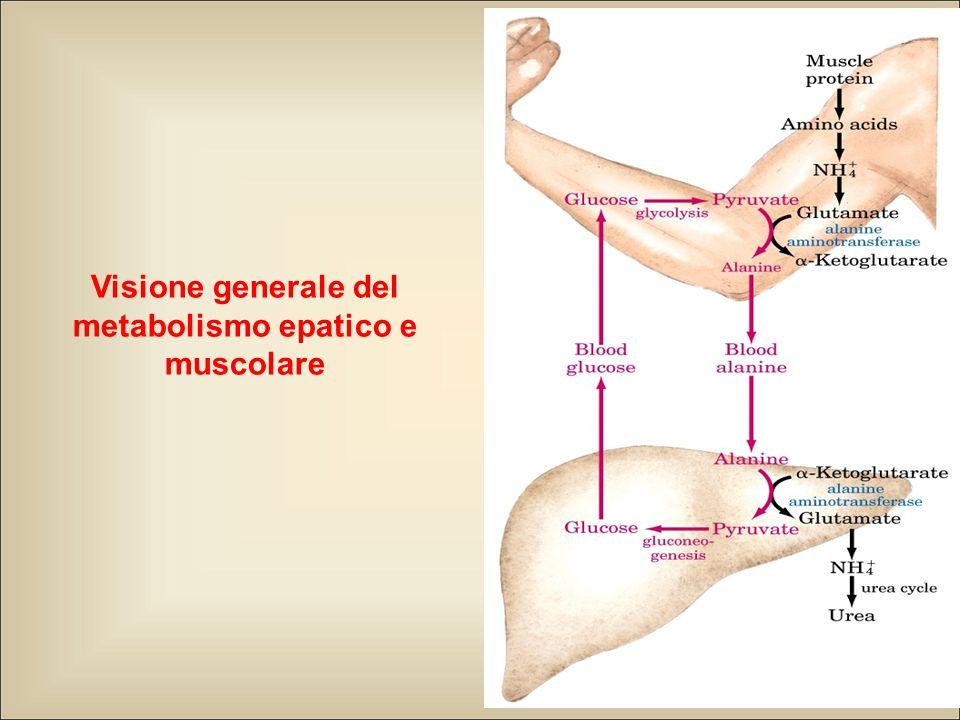 Visione generale del metabolismo epatico e muscolare