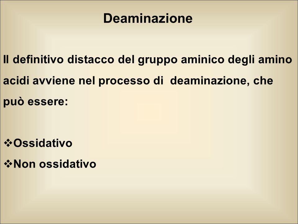 Deaminazione Il definitivo distacco del gruppo aminico degli amino acidi avviene nel processo di deaminazione, che può essere: