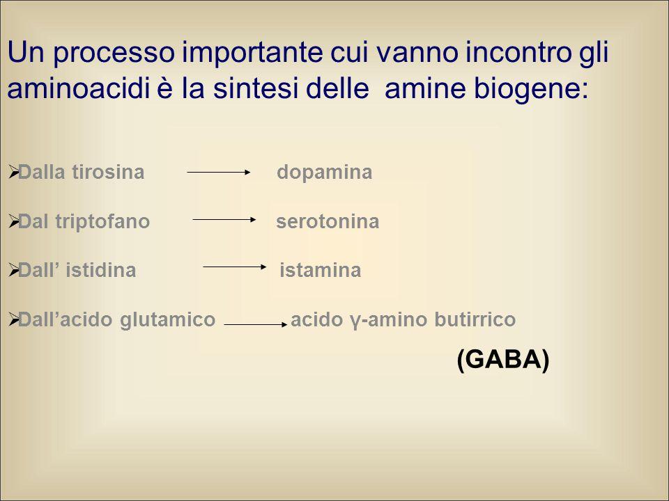 Un processo importante cui vanno incontro gli aminoacidi è la sintesi delle amine biogene: