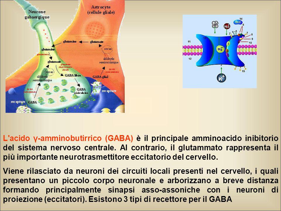 L acido γ-amminobutirrico (GABA) è il principale amminoacido inibitorio del sistema nervoso centrale. Al contrario, il glutammato rappresenta il più importante neurotrasmettitore eccitatorio del cervello.