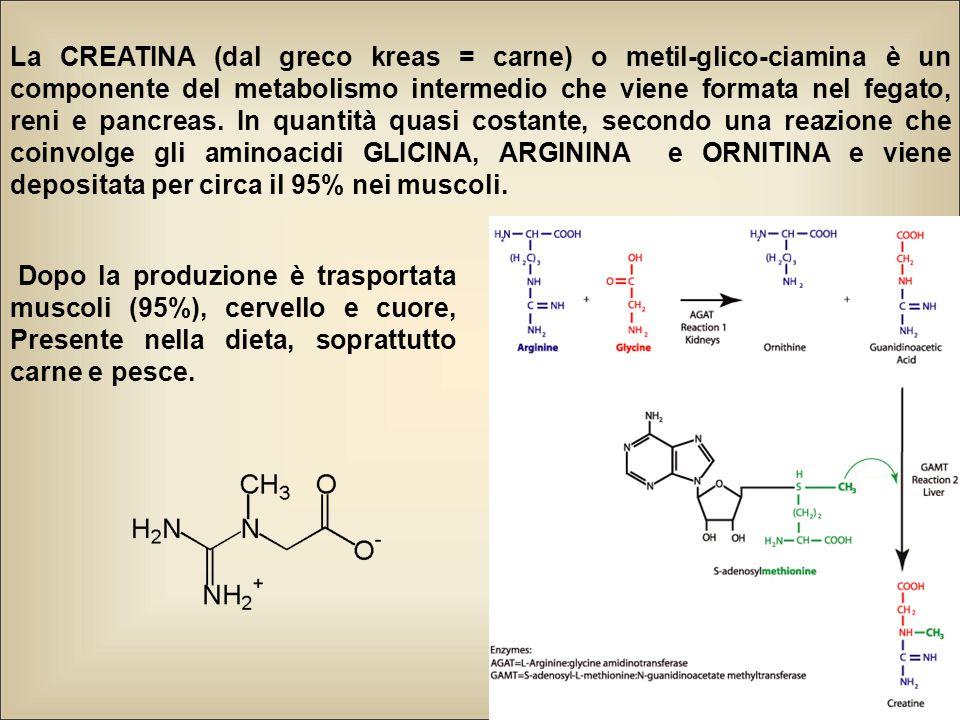 La CREATINA (dal greco kreas = carne) o metil-glico-ciamina è un componente del metabolismo intermedio che viene formata nel fegato, reni e pancreas. In quantità quasi costante, secondo una reazione che coinvolge gli aminoacidi GLICINA, ARGININA e ORNITINA e viene depositata per circa il 95% nei muscoli.