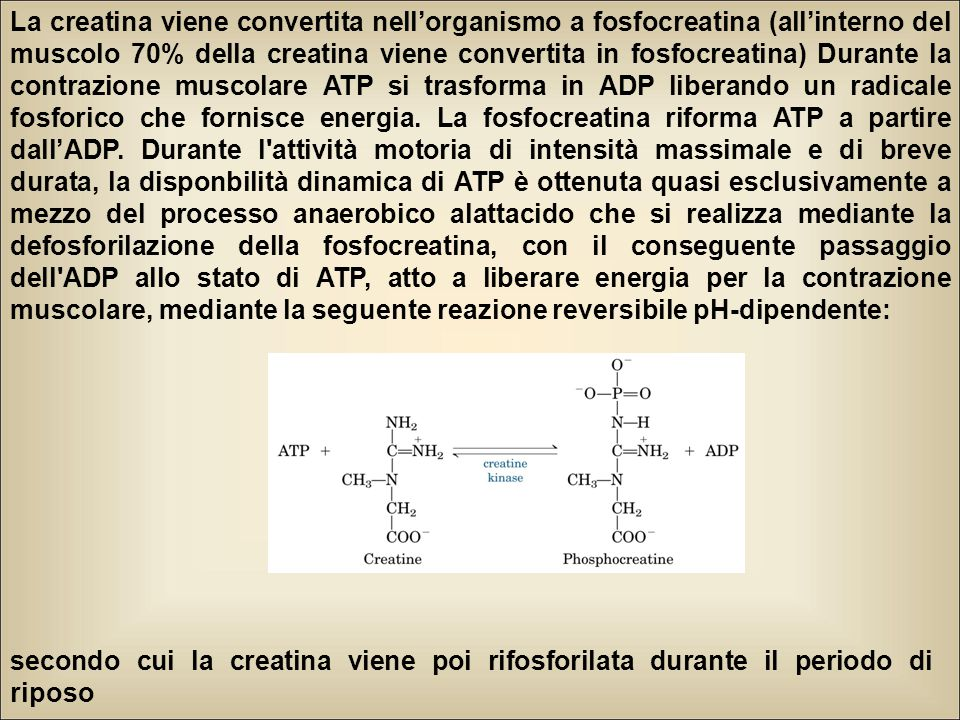 La creatina viene convertita nell'organismo a fosfocreatina (all'interno del muscolo 70% della creatina viene convertita in fosfocreatina) Durante la contrazione muscolare ATP si trasforma in ADP liberando un radicale fosforico che fornisce energia. La fosfocreatina riforma ATP a partire dall'ADP. Durante l attività motoria di intensità massimale e di breve durata, la disponbilità dinamica di ATP è ottenuta quasi esclusivamente a mezzo del processo anaerobico alattacido che si realizza mediante la defosforilazione della fosfocreatina, con il conseguente passaggio dell ADP allo stato di ATP, atto a liberare energia per la contrazione muscolare, mediante la seguente reazione reversibile pH-dipendente: