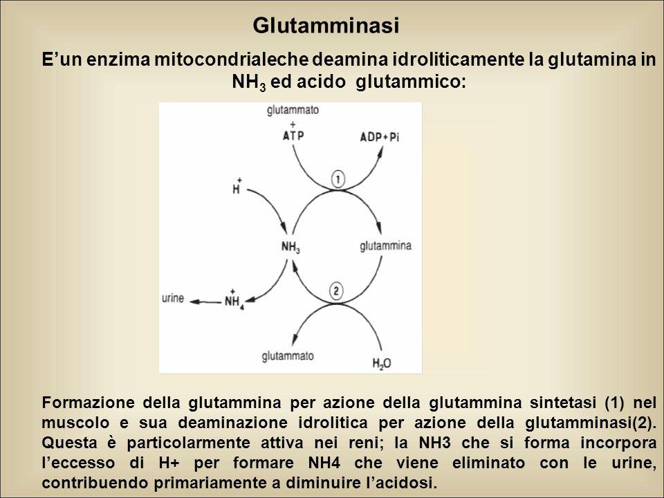 Glutamminasi E'un enzima mitocondrialeche deamina idroliticamente la glutamina in NH3 ed acido glutammico: