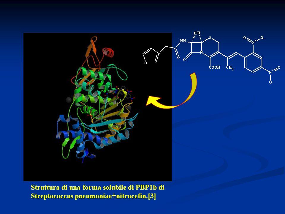 E anche nella Struttura 3D della stessa PBP1b legata al nitrocefin