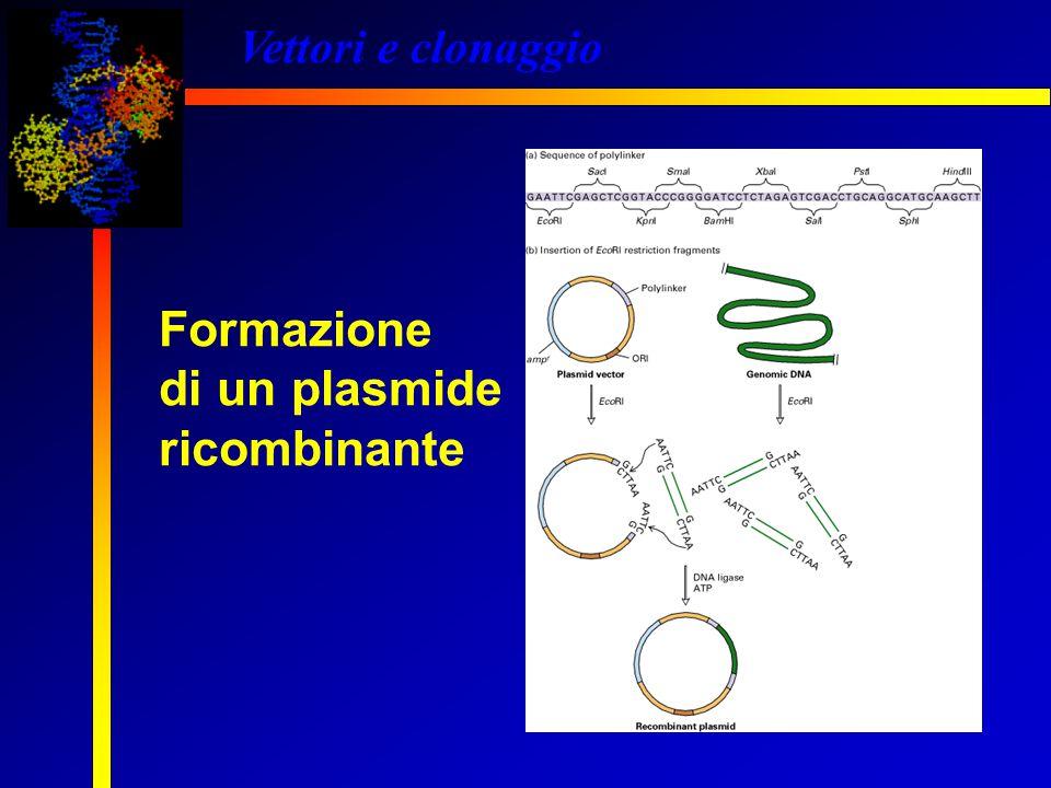 Vettori e clonaggio Formazione di un plasmide ricombinante