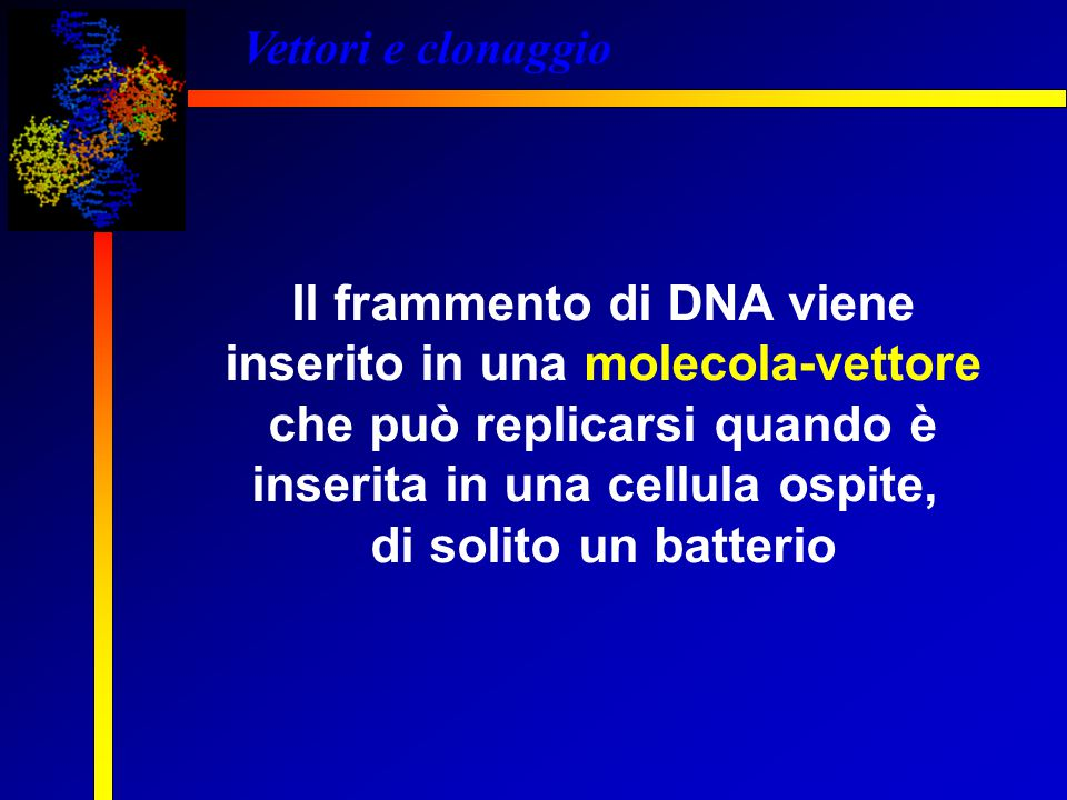 Il frammento di DNA viene inserito in una molecola-vettore