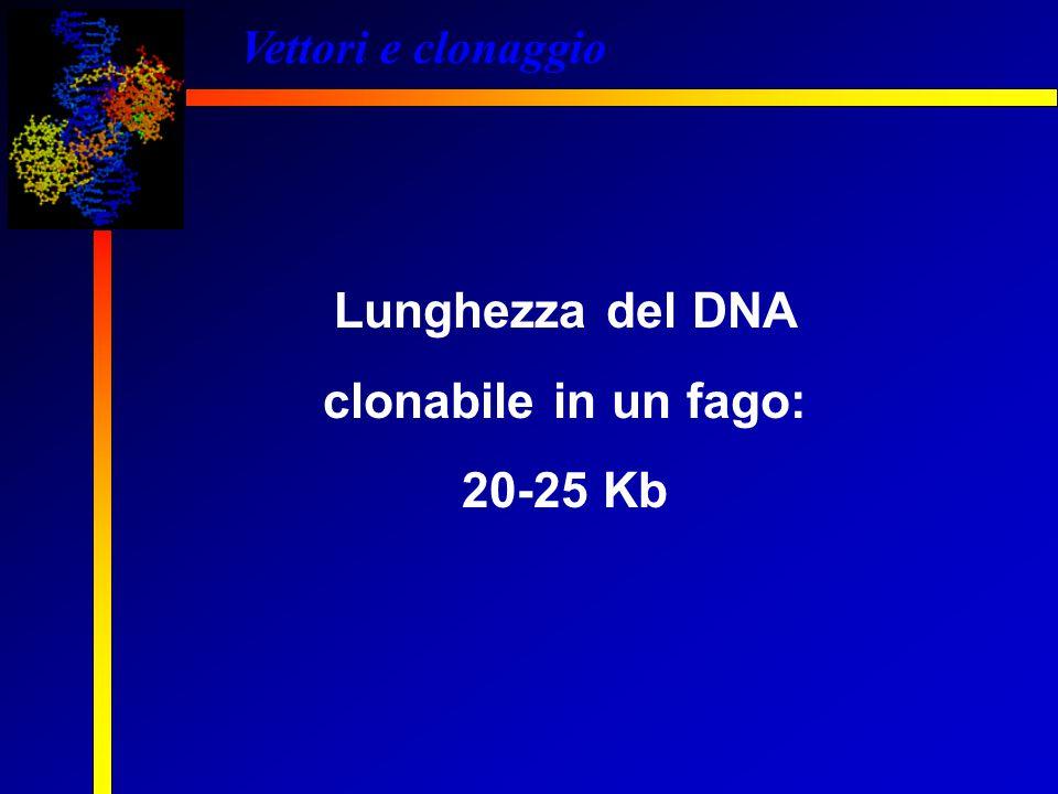 Lunghezza del DNA clonabile in un fago: 20-25 Kb