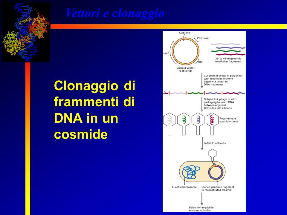 Vettori e clonaggio Clonaggio di frammenti di DNA in un cosmide