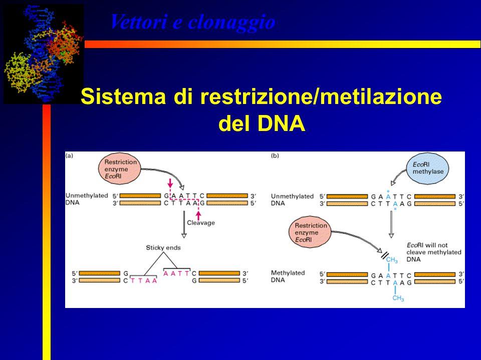 Sistema di restrizione/metilazione