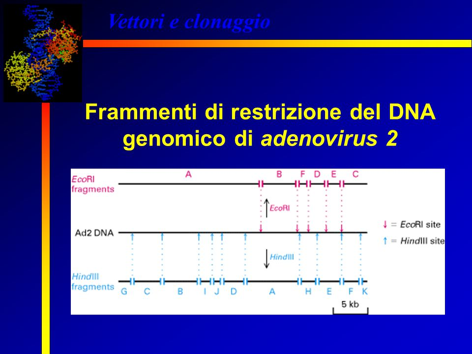 Frammenti di restrizione del DNA genomico di adenovirus 2