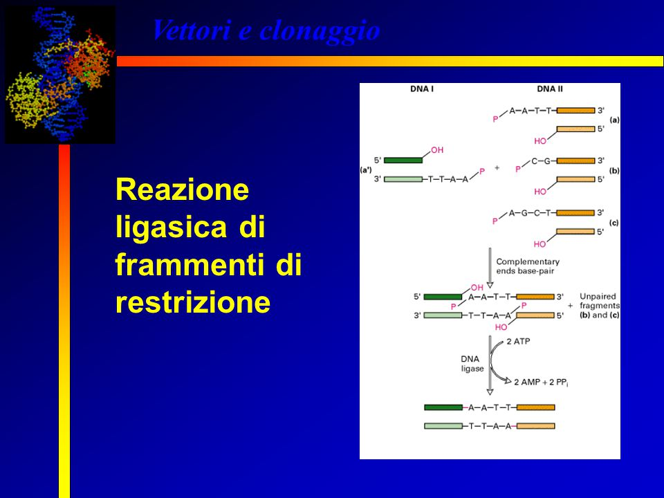 Vettori e clonaggio Reazione ligasica di frammenti di restrizione