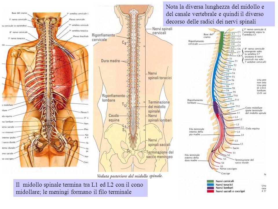 Nota la diversa lunghezza del midollo e del canale vertebrale e quindi il diverso decorso delle radici dei nervi spinali