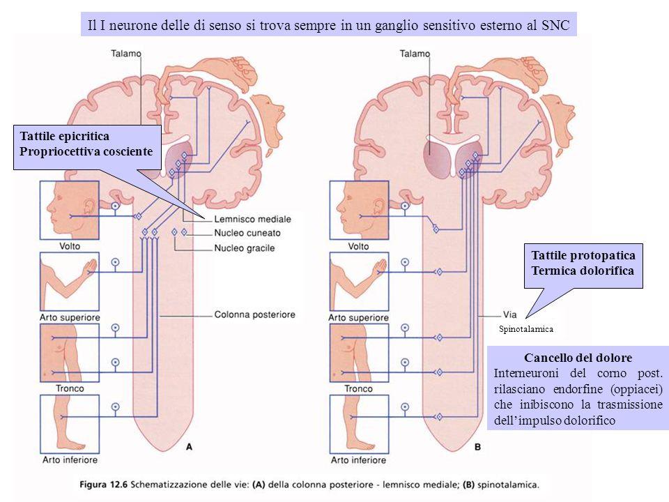 Il I neurone delle di senso si trova sempre in un ganglio sensitivo esterno al SNC