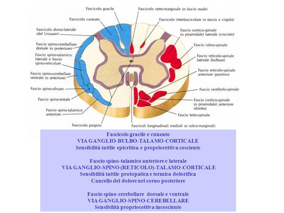 Fascicolo gracile e cuneato VIA GANGLIO-BULBO-TALAMO-CORTICALE