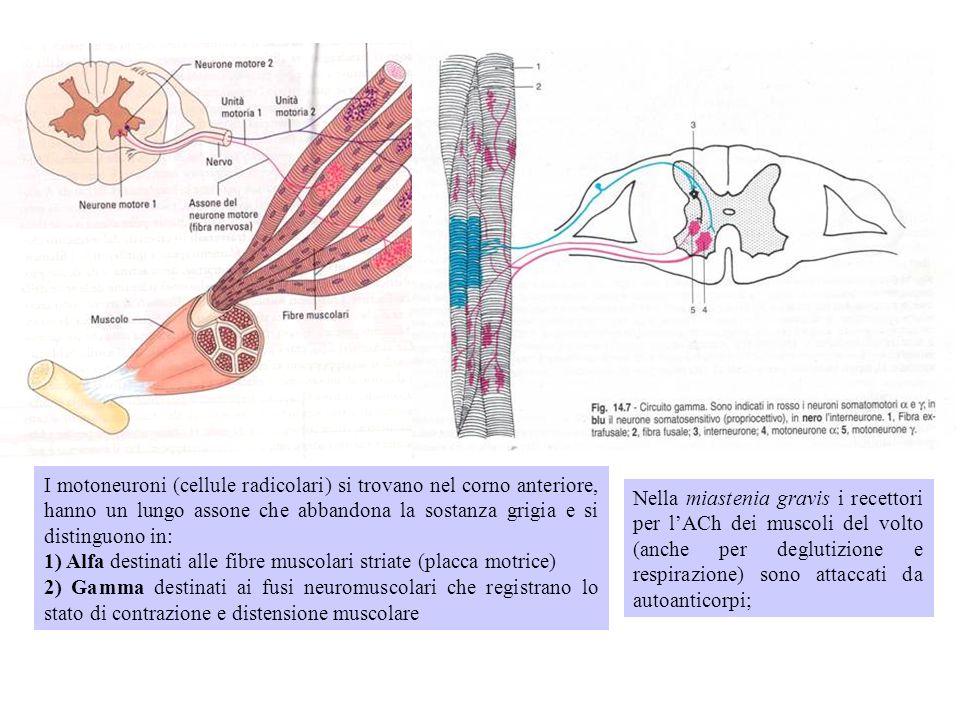 I motoneuroni (cellule radicolari) si trovano nel corno anteriore, hanno un lungo assone che abbandona la sostanza grigia e si distinguono in: