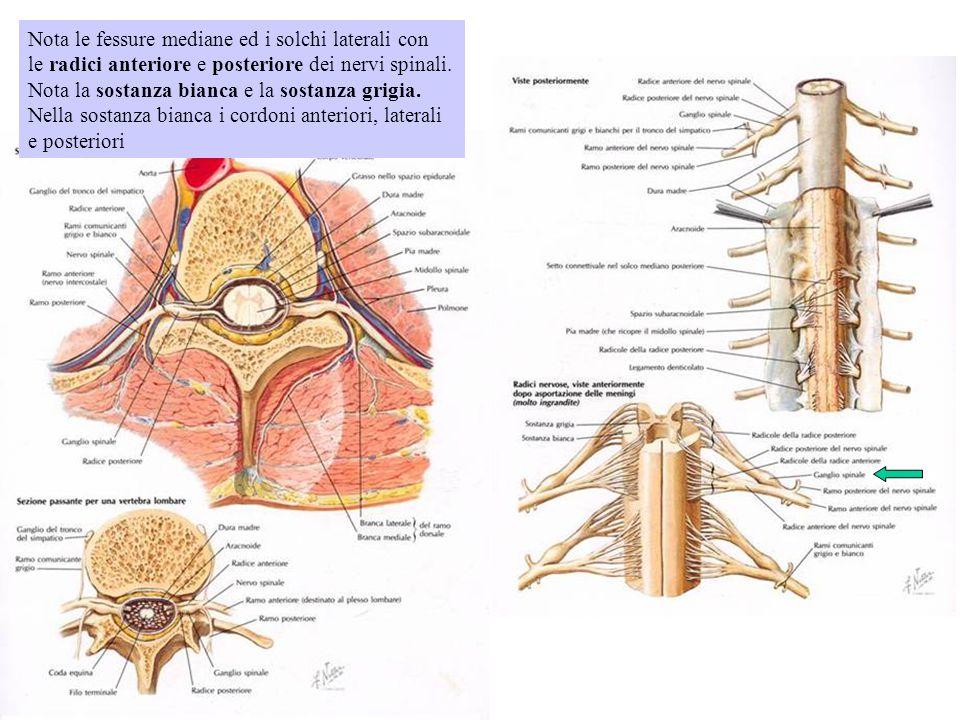 Nota le fessure mediane ed i solchi laterali con