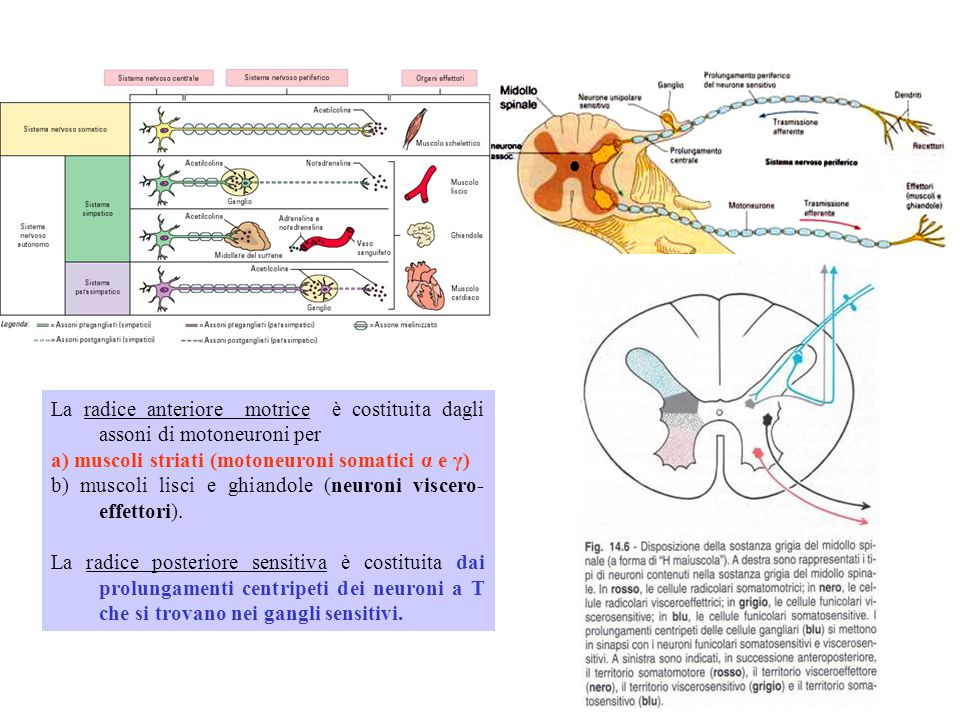 La radice anteriore motrice è costituita dagli assoni di motoneuroni per