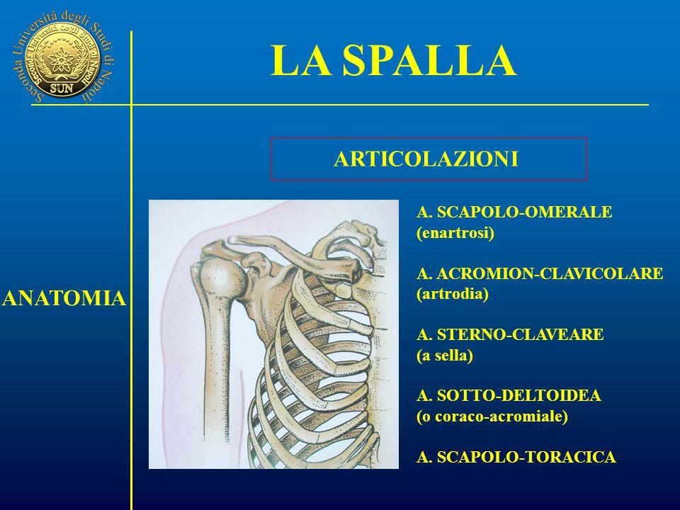 LA SPALLA ARTICOLAZIONI ANATOMIA A. SCAPOLO-OMERALE (enartrosi)