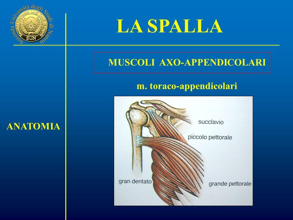 MUSCOLI AXO-APPENDICOLARI m. toraco-appendicolari