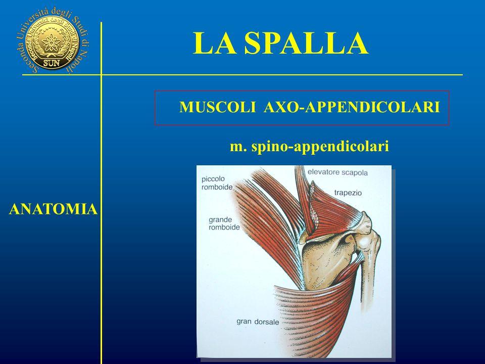 MUSCOLI AXO-APPENDICOLARI m. spino-appendicolari