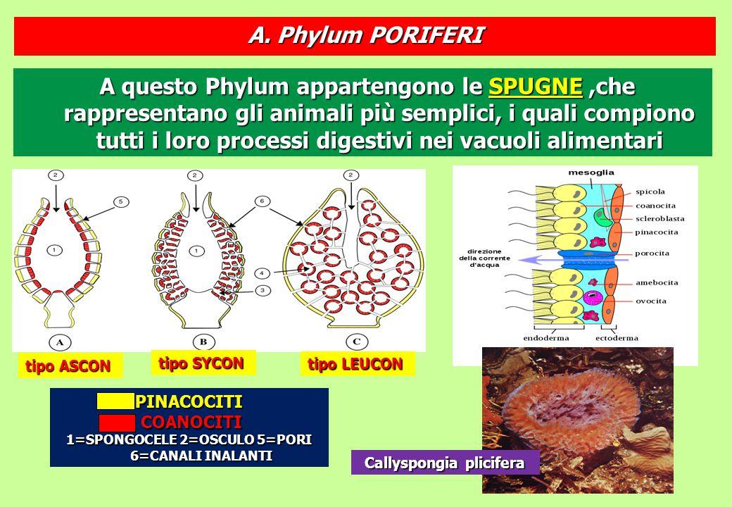 1=SPONGOCELE 2=OSCULO 5=PORI 6=CANALI INALANTI Callyspongia plicifera