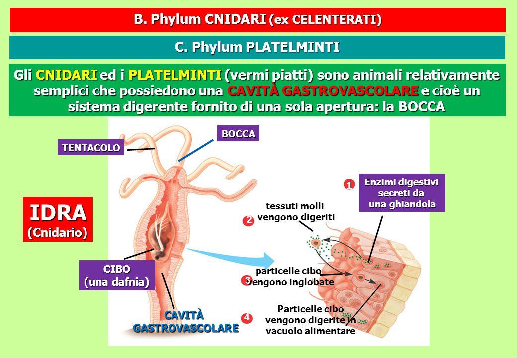 B. Phylum CNIDARI (ex CELENTERATI)