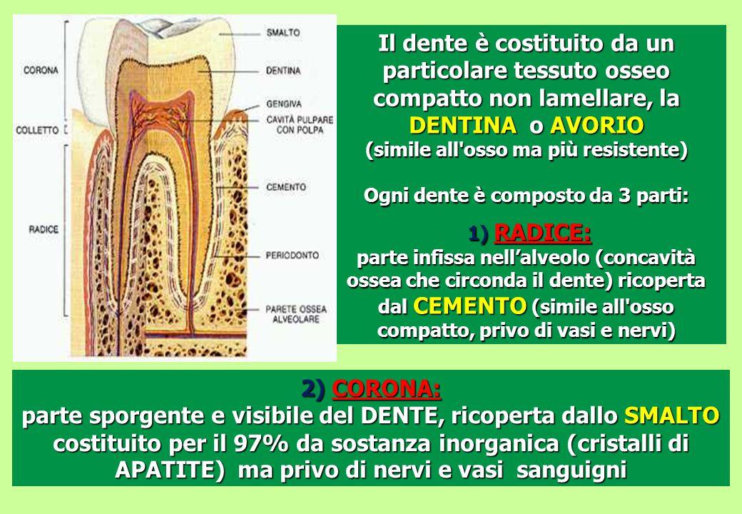 Ogni dente è composto da 3 parti: