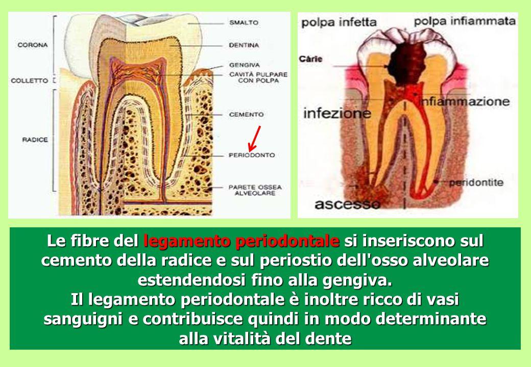 Le fibre del legamento periodontale si inseriscono sul cemento della radice e sul periostio dell osso alveolare estendendosi fino alla gengiva.