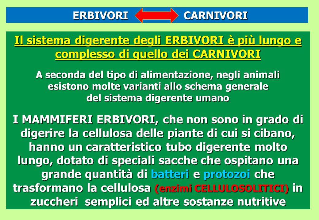 ERBIVORI CARNIVORI Il sistema digerente degli ERBIVORI è più lungo e complesso di quello dei CARNIVORI.