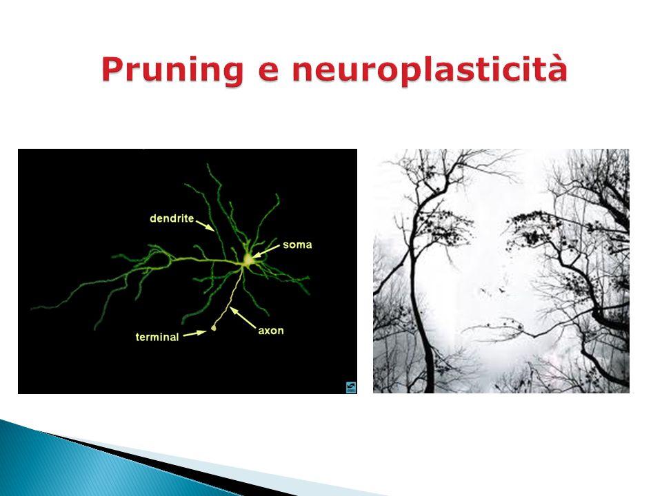 Pruning e neuroplasticità