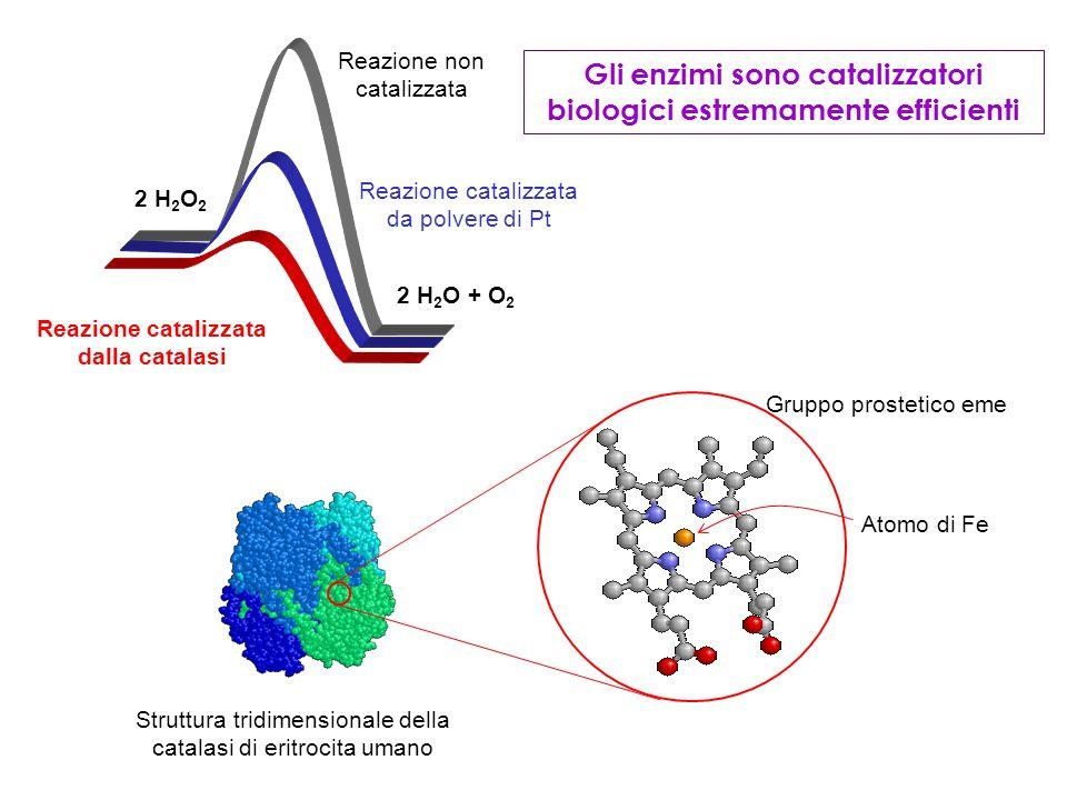 Gli enzimi sono catalizzatori biologici estremamente efficienti