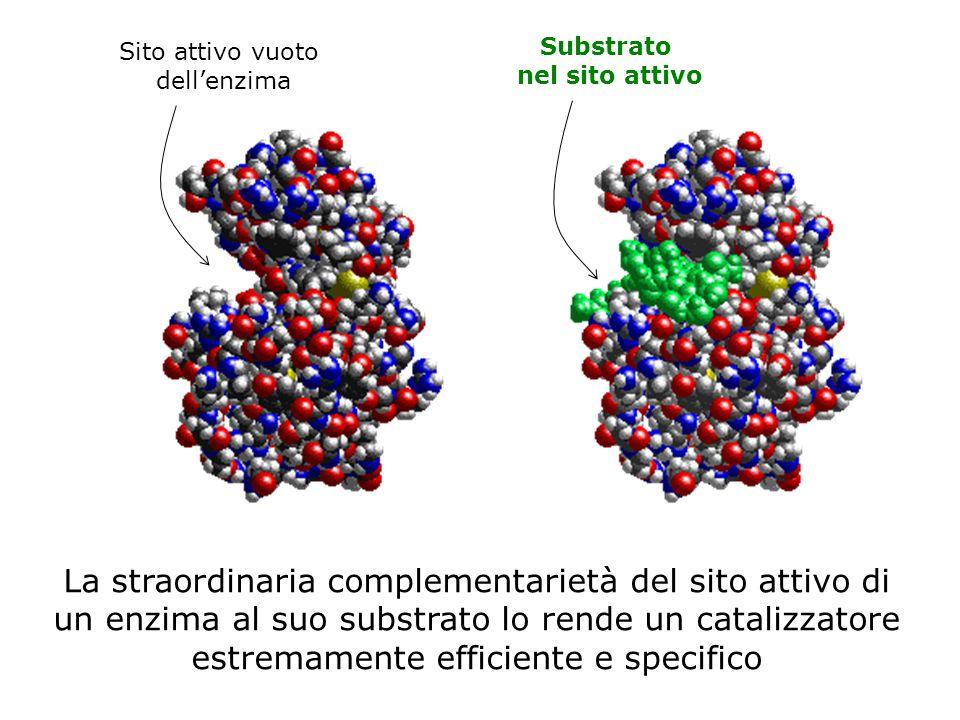 Sito attivo vuoto dell'enzima. Substrato. nel sito attivo.