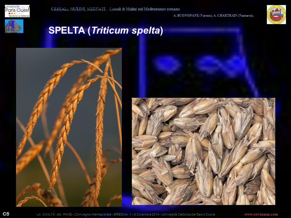 SPELTA (Triticum spelta)
