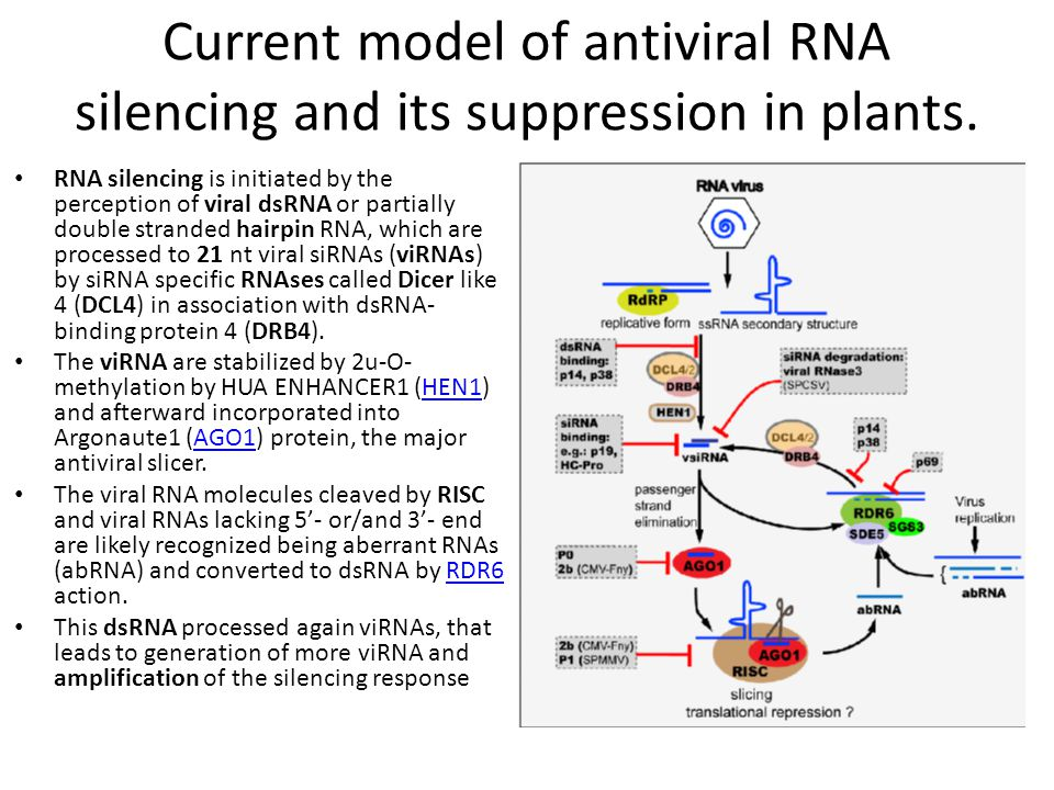 Current model of antiviral RNA silencing and its suppression in plants.